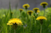 Close-up scenery of blooming yellow dandelions on a half-shaded lawn background — Foto Stock