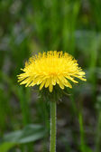 Rounded yellow dandelion corolla against the shaded lawn background — Stock Photo