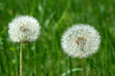 White fluffy dandelion heads on a green herb background — Photo