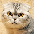 Portrait of a Scottish Fold - 图库照片