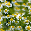 Wild camomile flowers growing on green meadow — Stock Photo