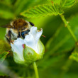Bumblebee on a flower of raspberry — Stock Photo