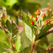 Viburnum on a branch — Foto Stock