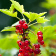 Red currant on a branch — Stock Photo