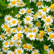 Medicinal herb chamomile — Stock Photo