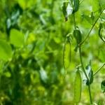 Peas growing in the garden — Stock Photo #29054063