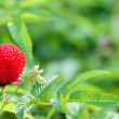 Garden berry hybrid of blackberry and raspberry — Stock Photo
