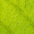 Stock Photo: Datursuaveolens leaf