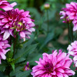 Blossoming of  autumn aster flower in the garden — Stock Photo