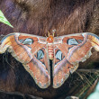 Attacus atlas night batterfly — Stock Photo