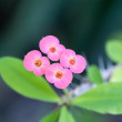 Euphorbia splendens — Stock Photo