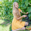 Girl picking ripe grapes in vineyard — Stock Photo #30948931