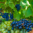 Wicker basket full of green grapes at harvest time — Stock Photo
