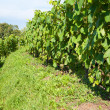 Agricultural landscape with vineyards — Foto Stock