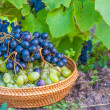 Grapes harvest. Autumn nature in vineyard with basket of grapes — Stock Photo