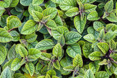 Plectranthus forsteri — Stock Photo