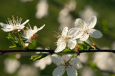 Blooming apple tree — Stock Photo