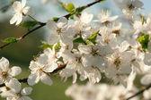 盛开的苹果树 — 图库照片