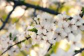 çiçek açan elma ağacı — Stok fotoğraf