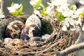 Qail eggs in nest — Stock Photo