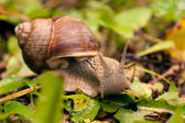 Crawler snail  on the grass — Stock Photo