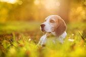 Beautiful dog — Stock Photo