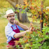 Gardener picking up fruit — Stock Photo