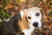 Beagle dog — Stock Photo