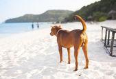 Cane sulla spiaggia — Foto Stock
