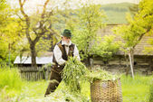 Farmer putting grass to basket — Stock Photo