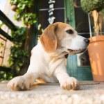 Постер, плакат: Beagle dog guarding house