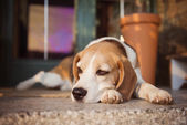 Beagle dog guarding house — Stock Photo