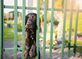 Dog behind the garden fence — Stock Photo