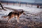 Pes v zasněžené krajině — Stock fotografie