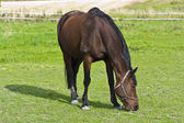 Brown horse eating green grass — Stock Photo