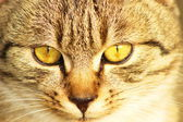 Cat. (Felis silvestris catus) — Stock Photo