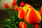 Färgglada tulip — Stockfoto
