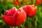 Colorful Tulip — Stock Photo