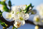 Background with blossom — Stock Photo