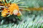 Blooming pine bud. — Stock Photo