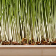 Germination of wheat seeds — Stock Photo