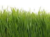 Campo de trigo verde — Foto de Stock