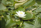 White lily floating on water — Stok fotoğraf
