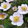 Japanese anemone -  thimbleweed flowers — Stock Photo