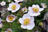 Japanese anemone - thimbleweed flowers — Stock Photo