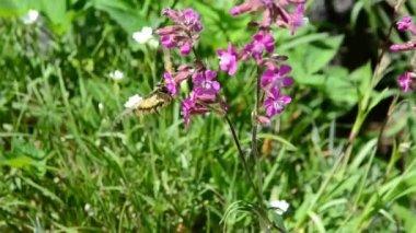 Pembe çiçekler besleme swallowtail kelebek — Stok video
