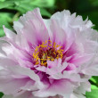 closeup peonia - paeonia suffruticosa — Foto Stock