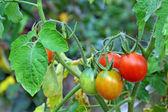 トマトのつる - クローズ アップ — ストック写真