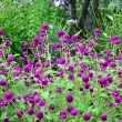 Purple globe amaranth - Gomphrenglobosa — Stock Photo #31398863