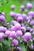 Lavender globe amaranth - Gomphrena globosa — Stock Photo